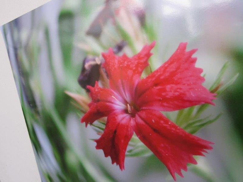 Osa kuvasta nimeltä Ystävyyden kukka.