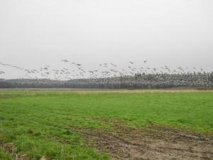 Valkoposkihanhia näkyy satamäärin muun muassa Viikin pelloilla.
