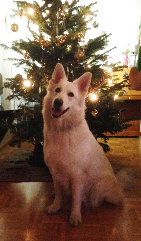 Jaana Issakaisen lähettämässä kuvassa valkoinenpaimenkoira Shira asettautui poseeraamaan vastakoristellun joulukuusen eteen Tapanilassa viime sunnuntaina.